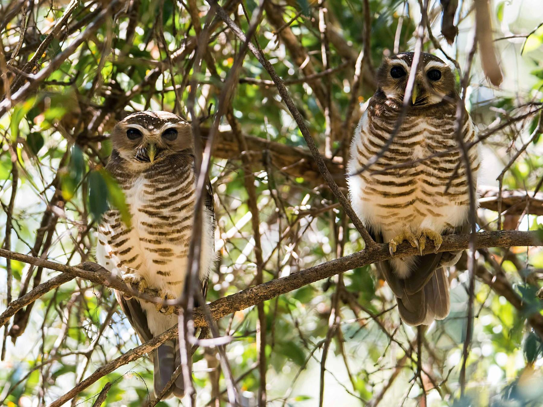 White-browed Owl - Shailesh Pinto