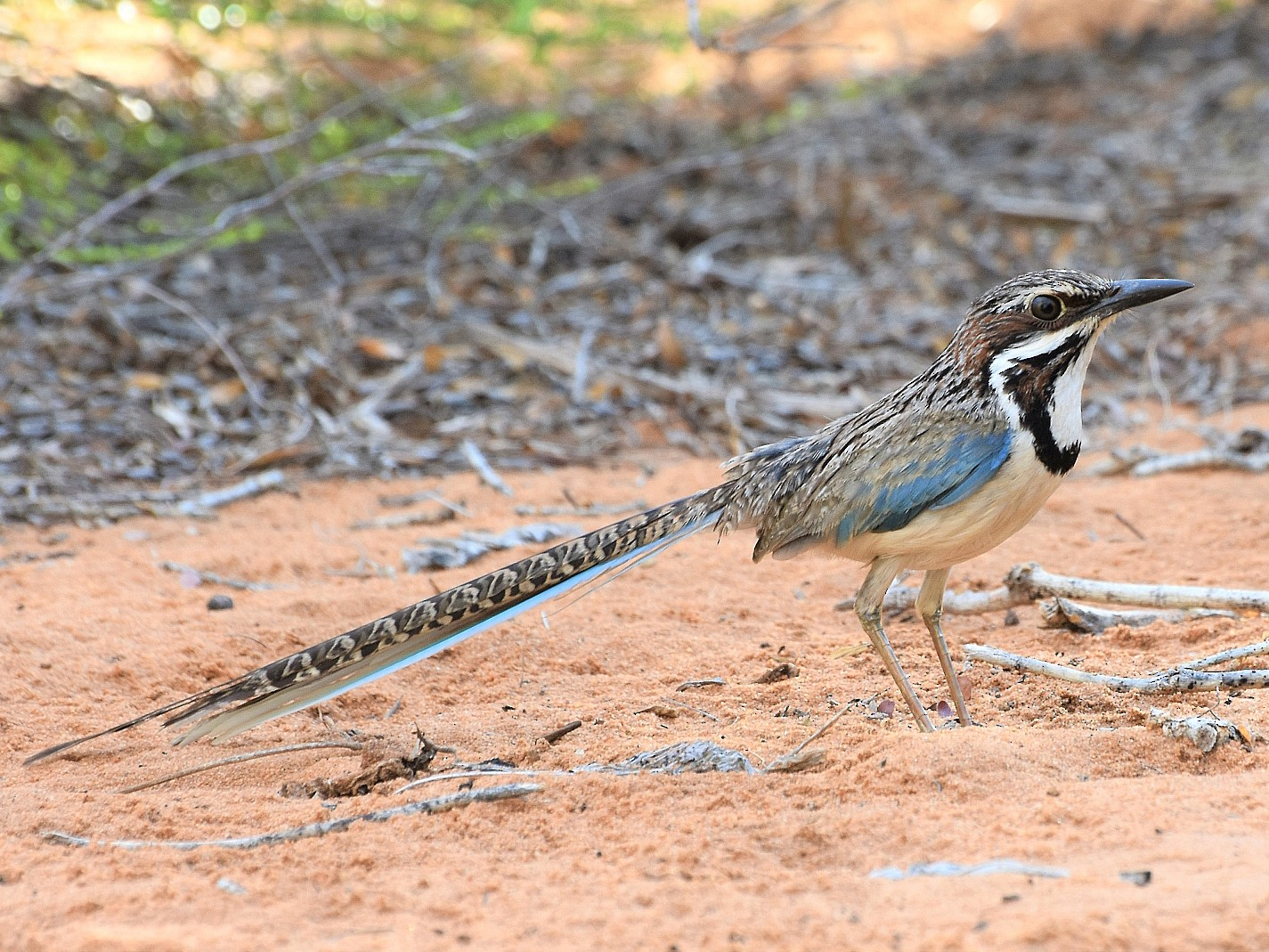 Long-tailed Ground-Roller - Carlos Sanchez