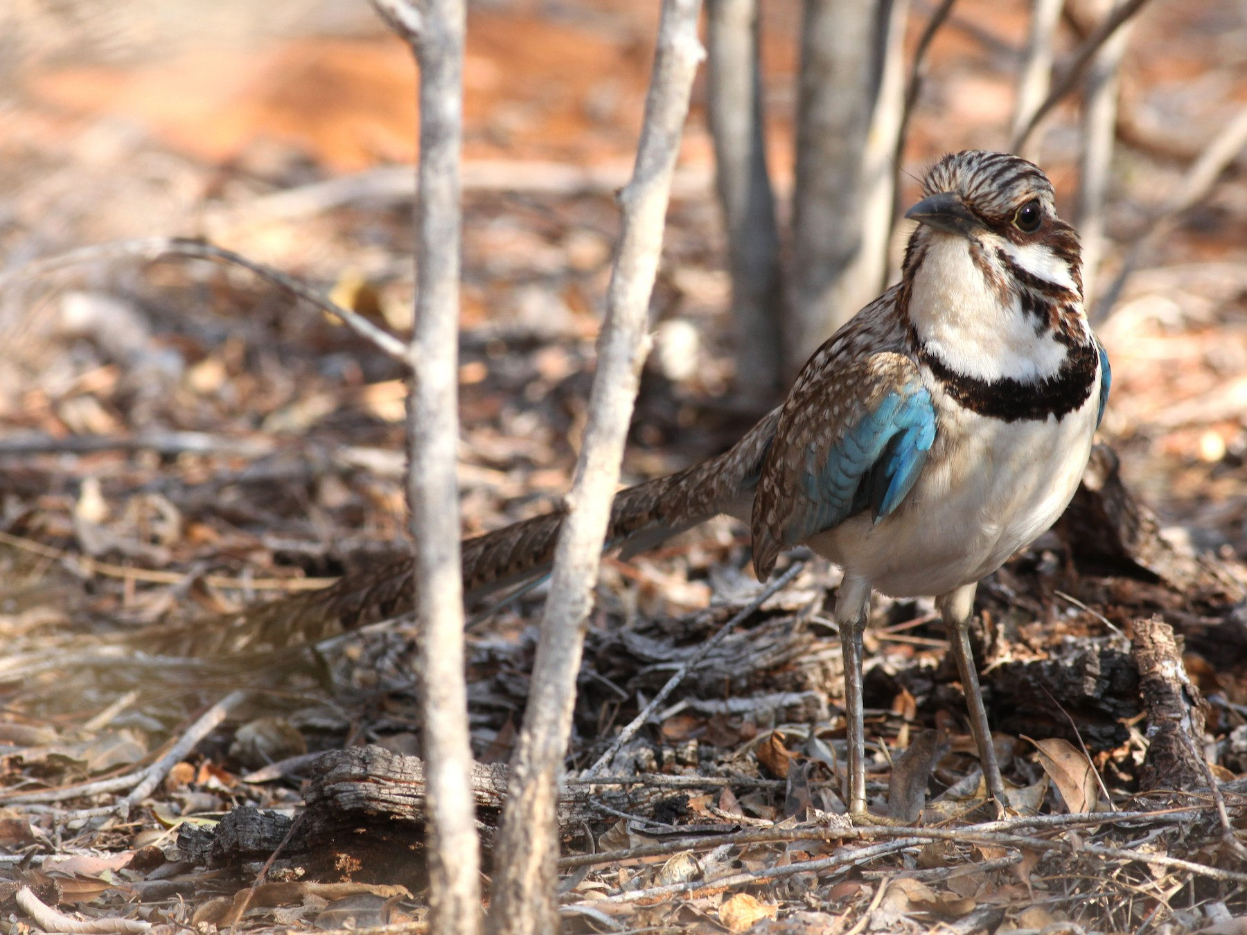 Long-tailed Ground-Roller - Scott (瑞興) LIN(林)