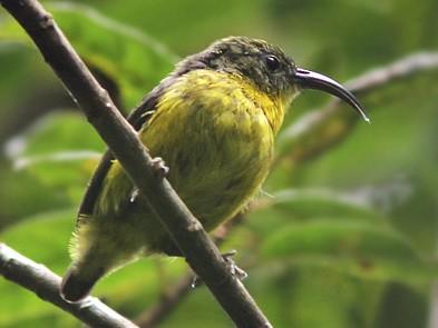 Yellow-bellied Sunbird-Asity - Amy McAndrews