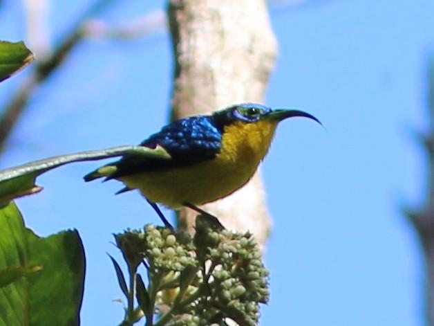 Yellow-bellied Sunbird-Asity - Vicki  Sandage