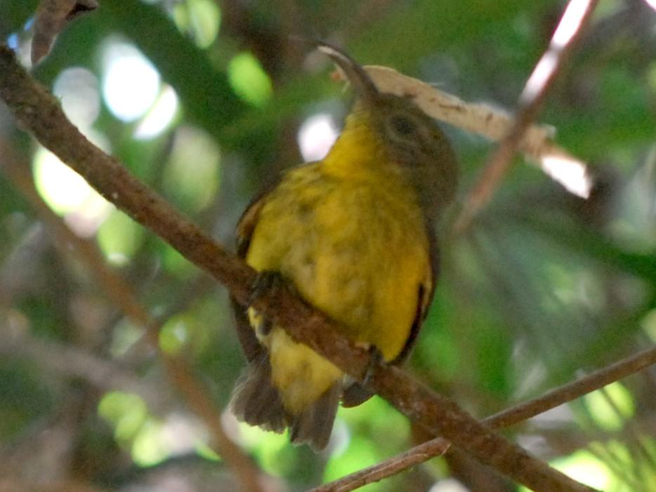 Yellow-bellied Sunbird-Asity - Cathy Pasterczyk