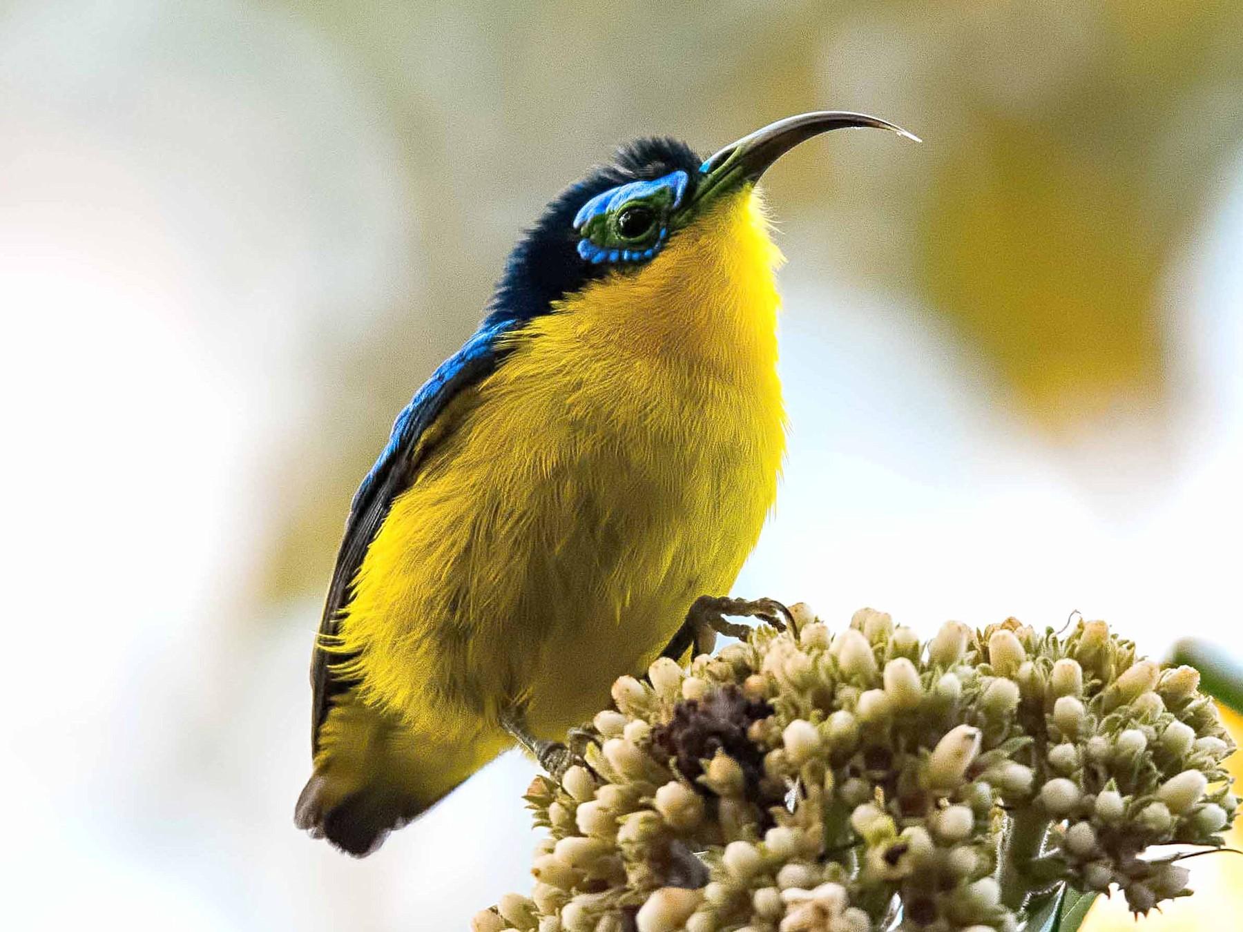 Yellow-bellied Sunbird-Asity - Shailesh Pinto