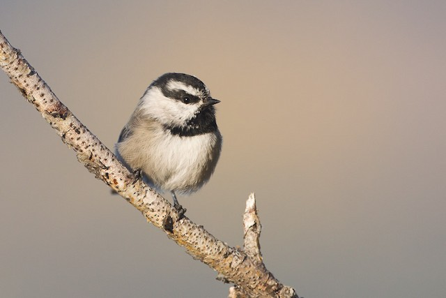 Mountain Chickadee ML192489441