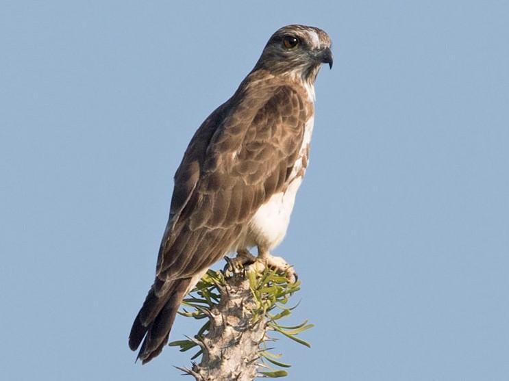 Madagascar Cuckoo-Hawk - Arthur Grosset