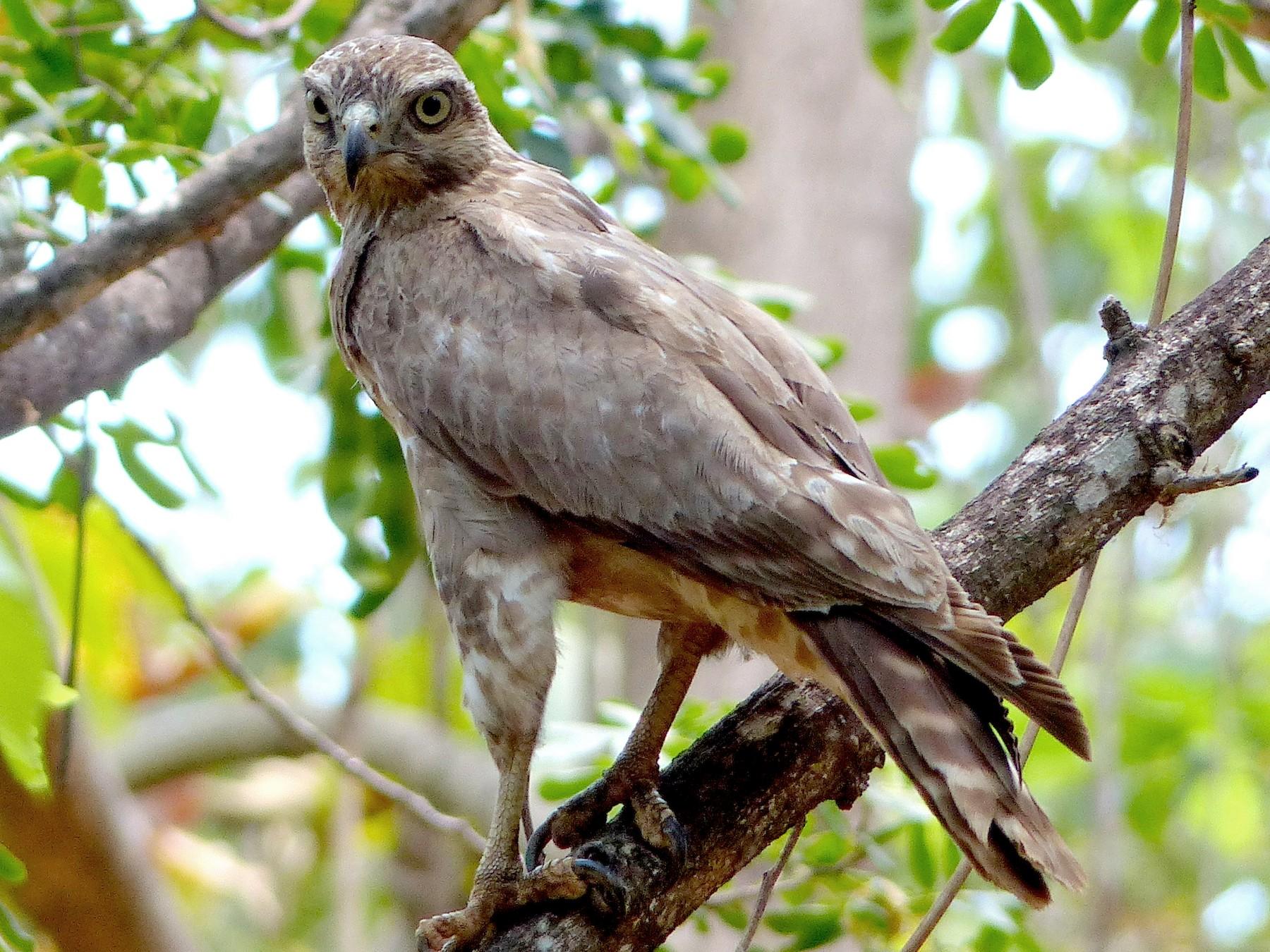 Madagascar Cuckoo-Hawk - David Bree