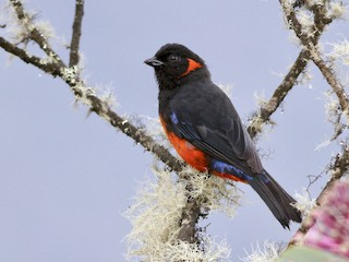 - Scarlet-bellied Mountain-Tanager