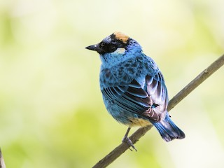 - Golden-naped Tanager