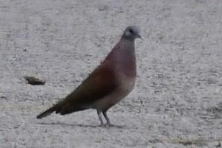Malagasy Turtle-Dove, ML192819521
