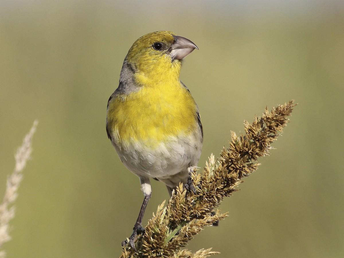 Laysan Finch - eBird
