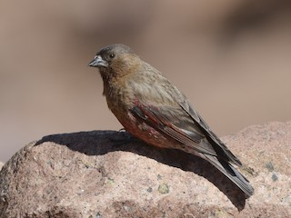 - Brown-capped Rosy-Finch