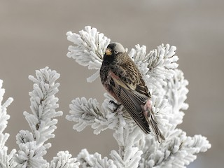- Black Rosy-Finch