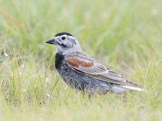 - Thick-billed Longspur