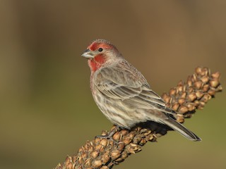 - House Finch
