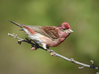 - Purple Finch