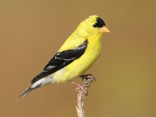 - American Goldfinch