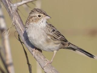 - Cassin's Sparrow