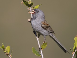 - Black-chinned Sparrow
