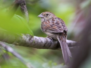 - Bachman's Sparrow