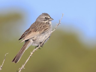- Sagebrush Sparrow