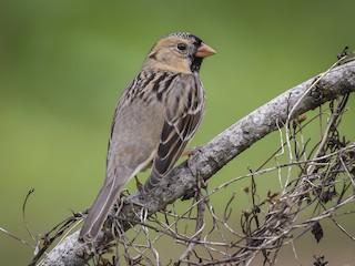 - Harris's Sparrow