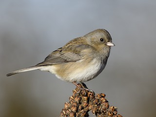 - Dark-eyed Junco (Slate-colored)