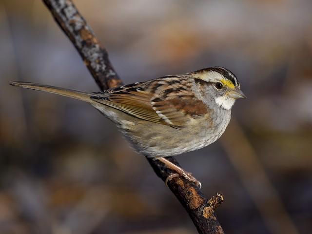 Photos - White-throated Sparrow - Zonotrichia albicollis - Birds of the  World