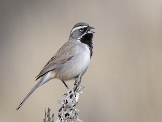- Black-throated Sparrow
