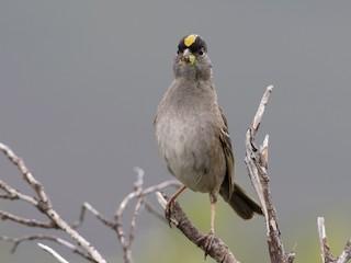 - Golden-crowned Sparrow