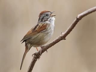 - Swamp Sparrow