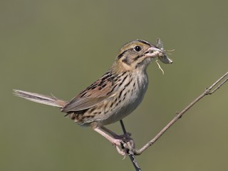 - Henslow's Sparrow