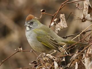 - Green-tailed Towhee