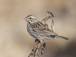 - Savannah Sparrow