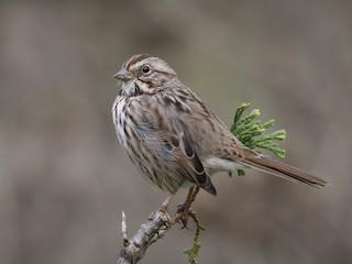 - Song Sparrow