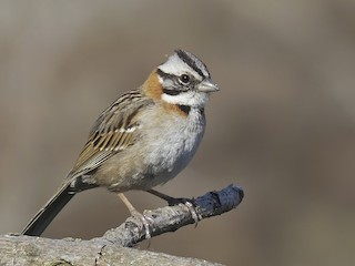 - Rufous-collared Sparrow