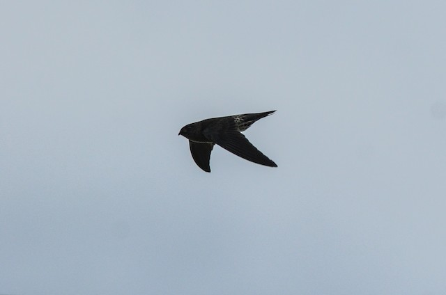 Gray-rumped Swiftlet