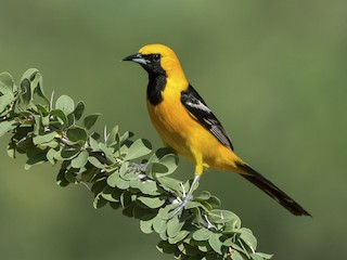 - Hooded Oriole