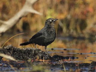 - Rusty Blackbird