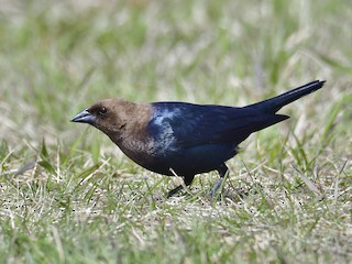 - Brown-headed Cowbird