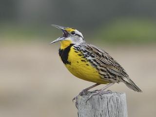 - Eastern Meadowlark