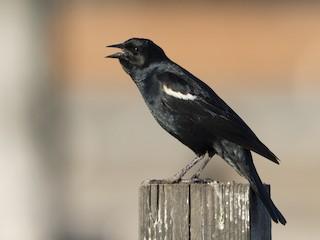 - Tricolored Blackbird