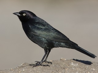 - Brewer's Blackbird