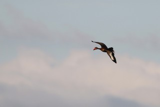 Black-bellied Whistling-Duck (autumnalis), ML193319911