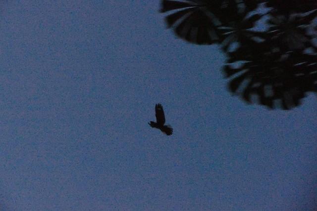 Black-shouldered Nightjar