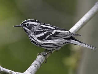 - Black-and-white Warbler