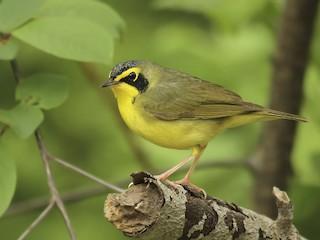 - Kentucky Warbler