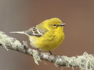 - Pine Warbler