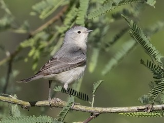 - Lucy's Warbler