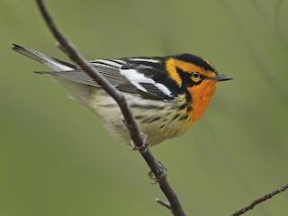 - Blackburnian Warbler