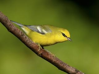 - Blue-winged Warbler
